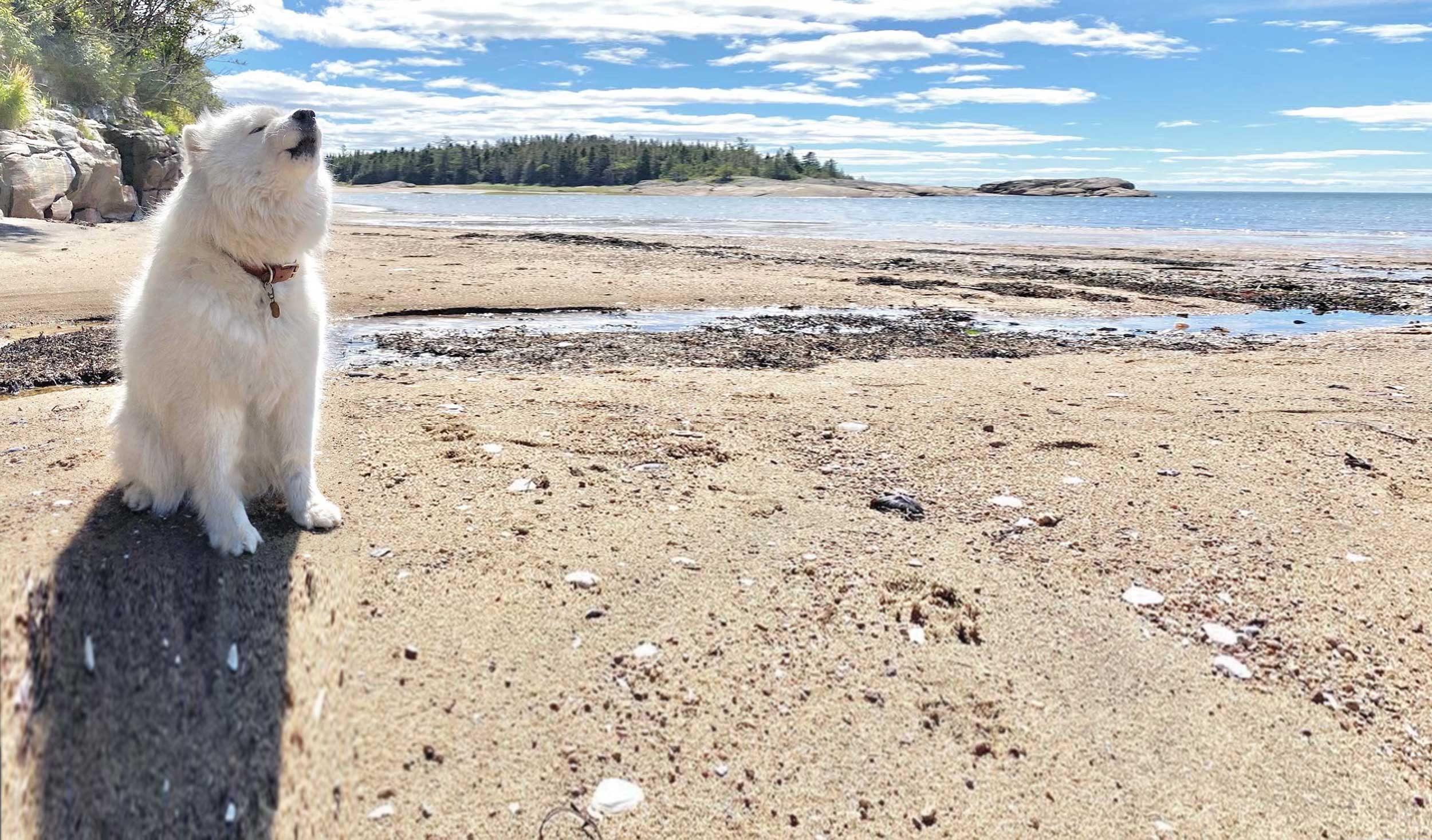 Samoyède à la plage