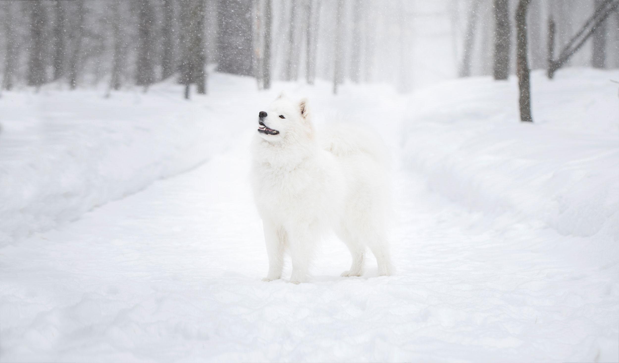 Samoyède dans une tempête de neige
