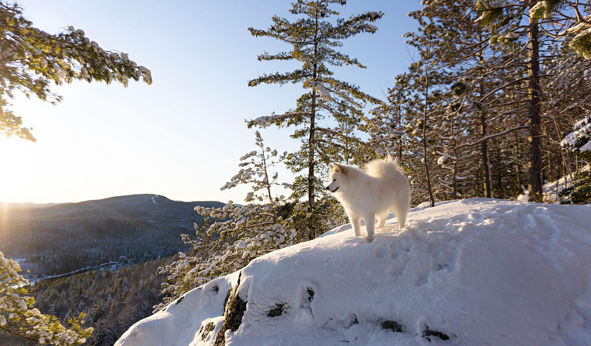 Samoyède en hiking
