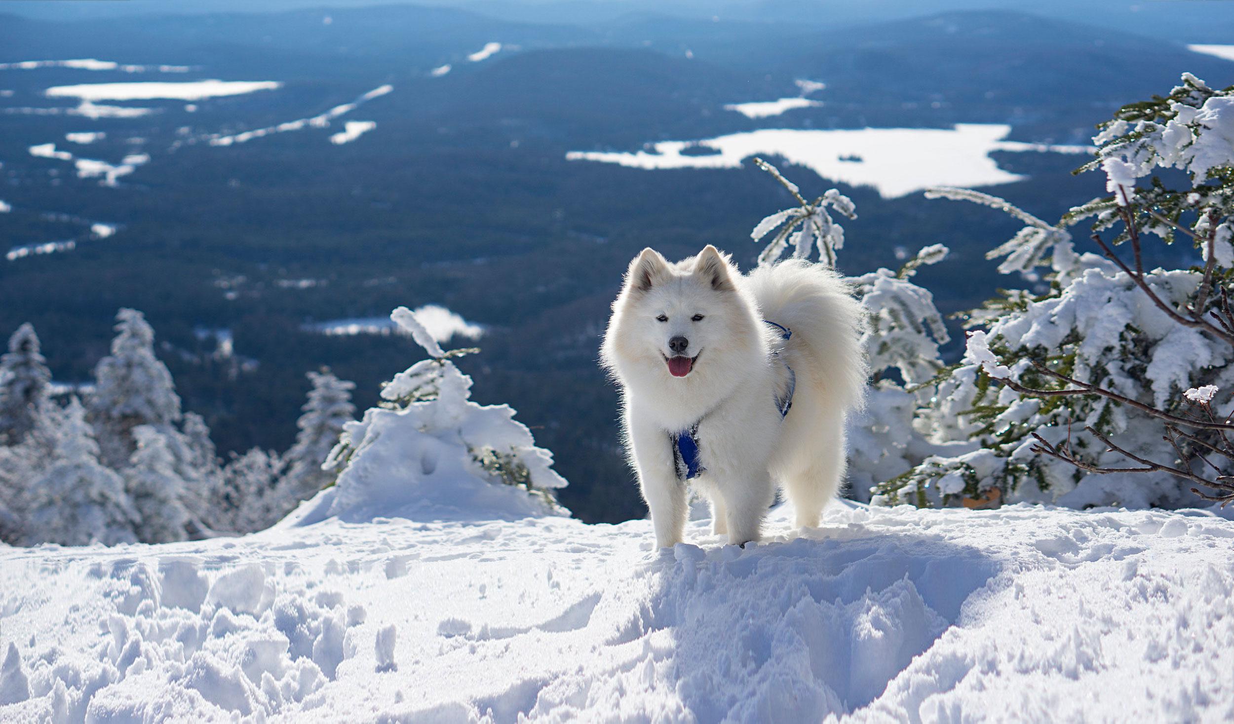 Samoyède dans une montagne de neige