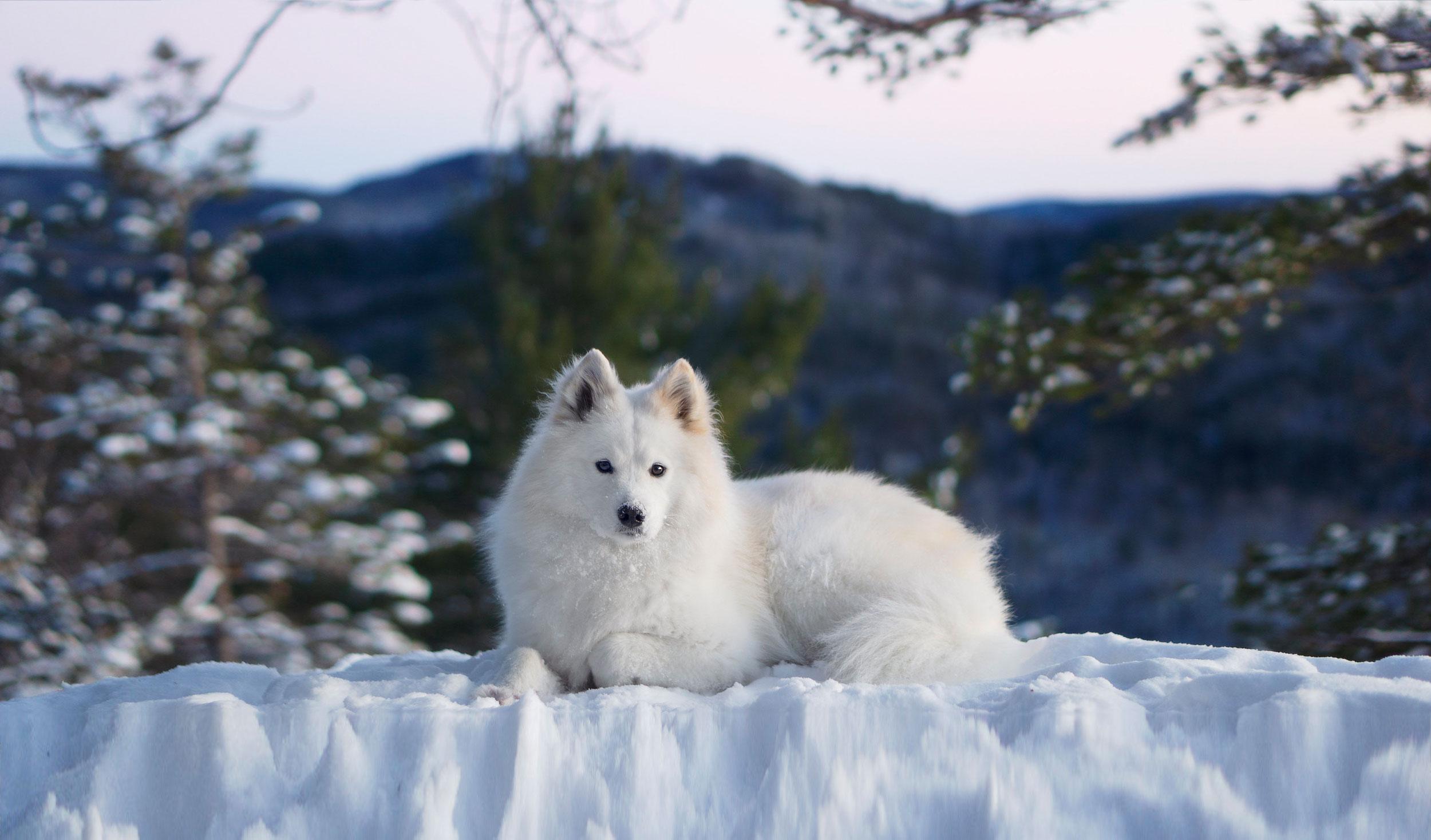 Samoyède dans la neige