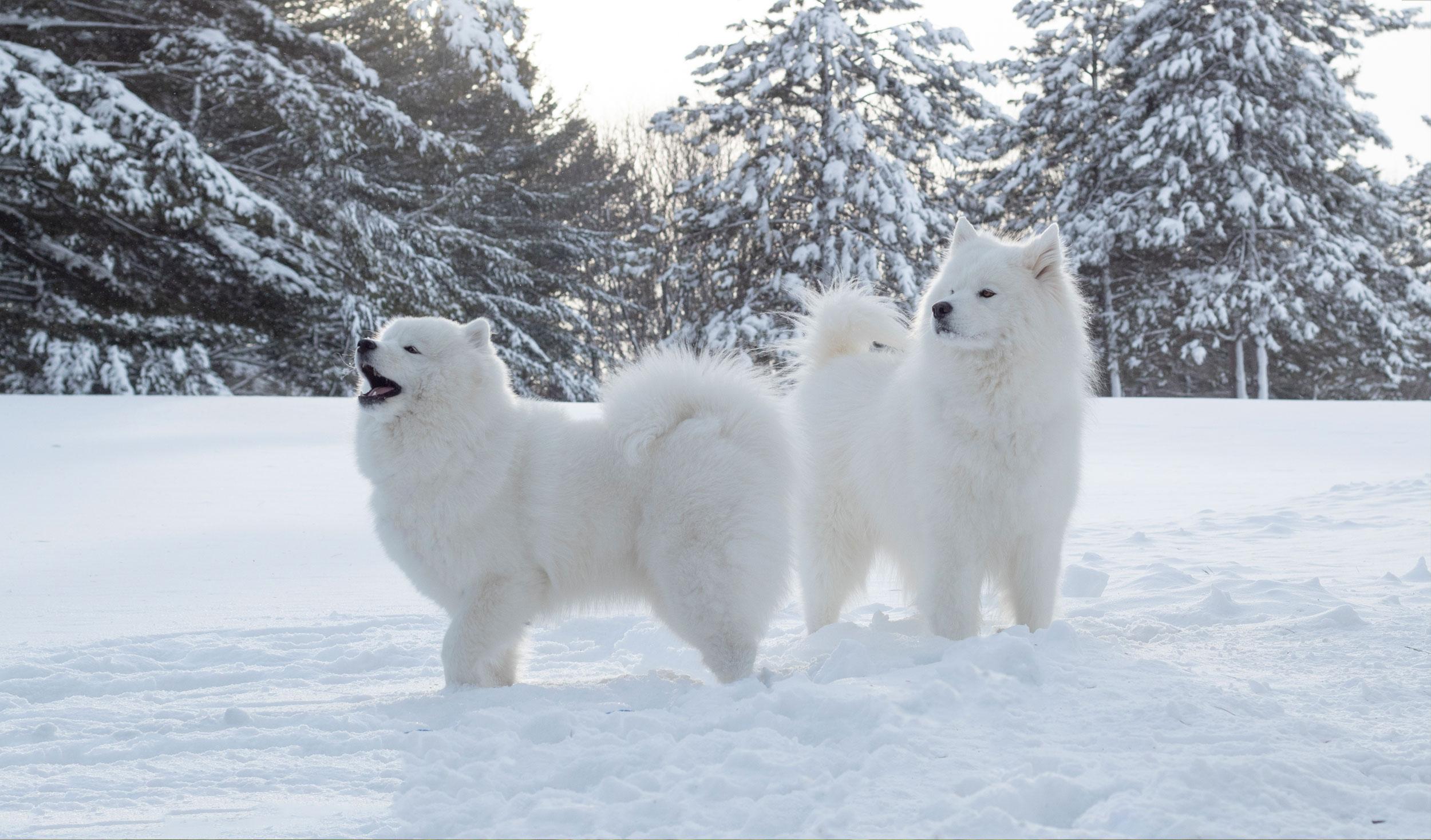 Deux samoyèdes dans la neige