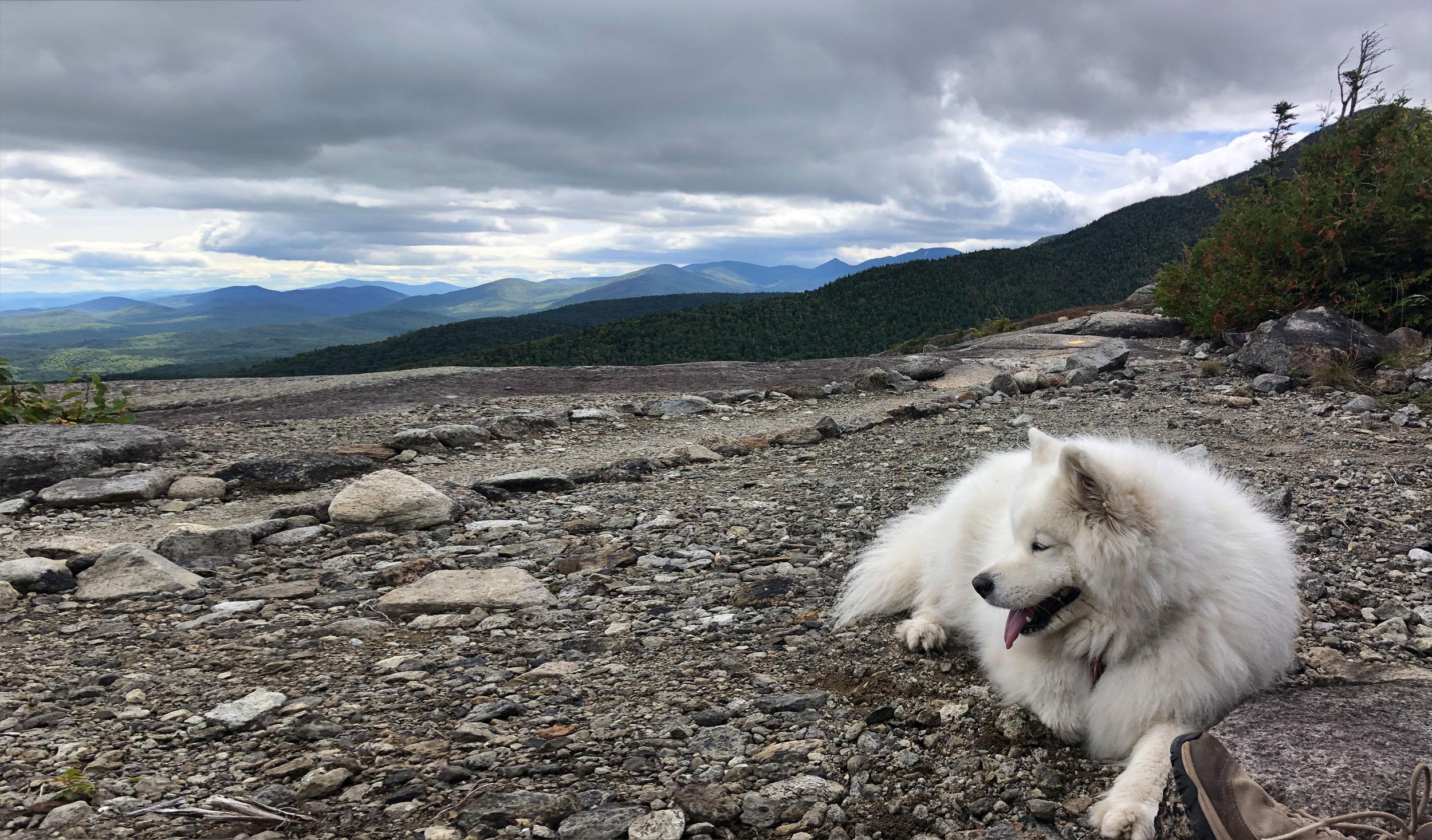 Samoyède sur un rivage