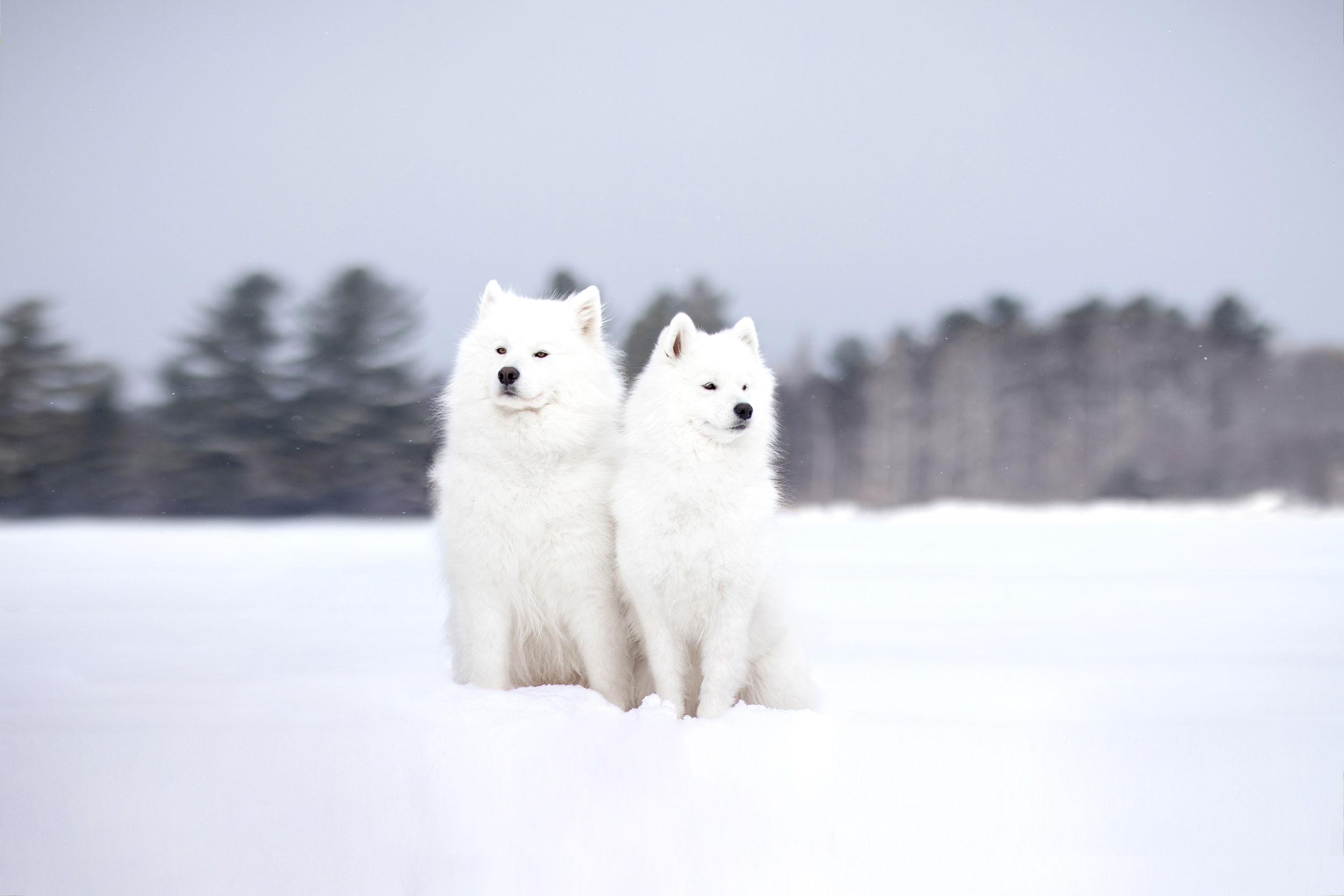 2 samoyèdes dans la neige