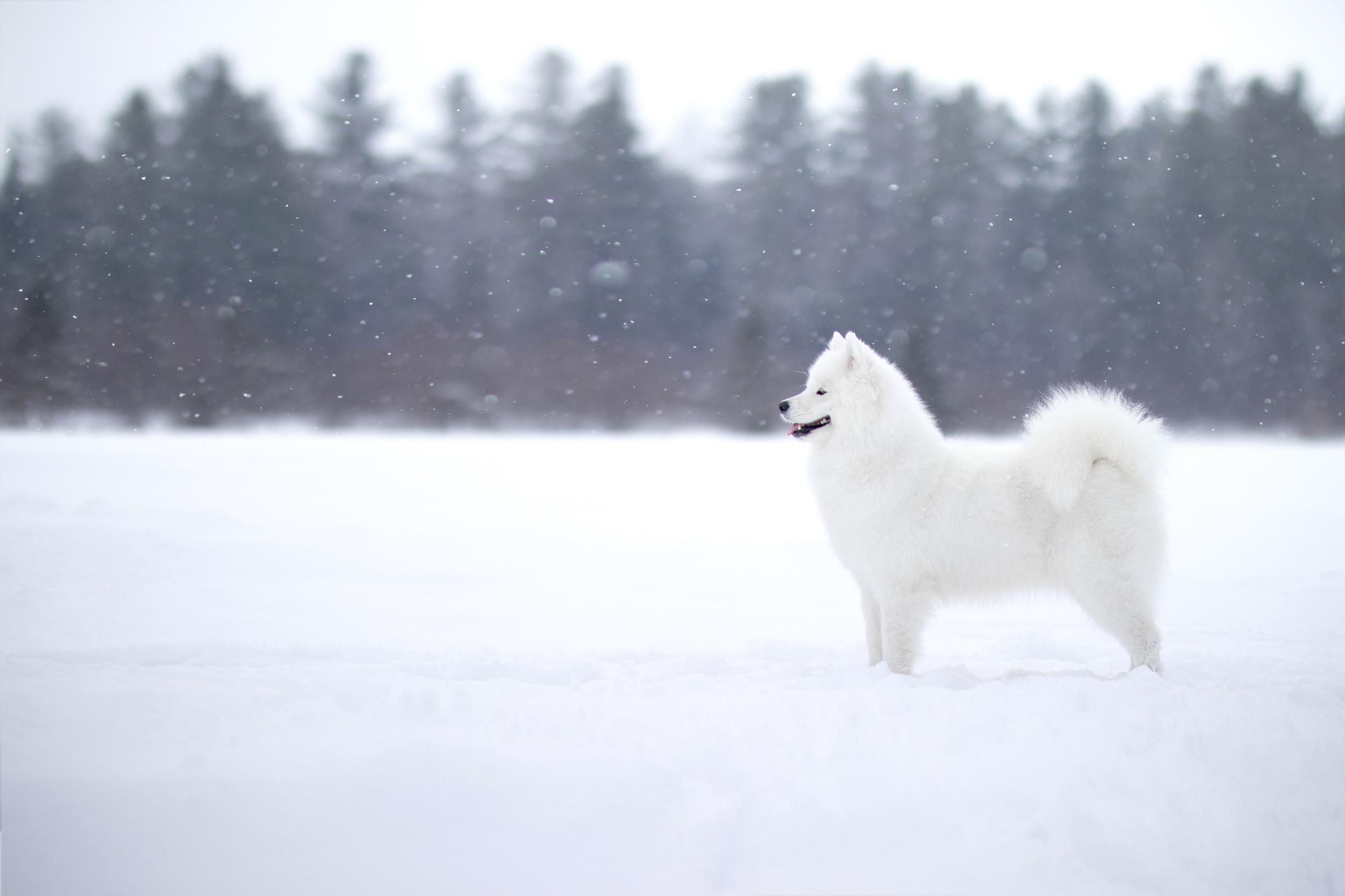 Samoyede dans la neige